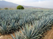SUCRE/sucre_agave_americain.jpg