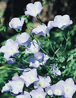 glossary_l/seed-Linseed-flower.jpg