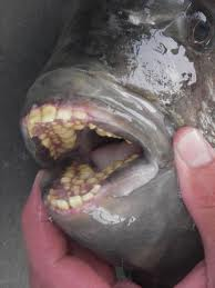 glossary_s/Sheepshead-teeth.jpg